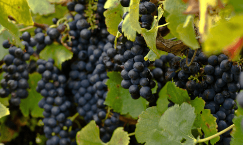 Grapes | Wine Tours
